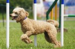 agility-poodle-commons