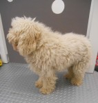 """This """"non shedding"""" pup looked just fine..."""