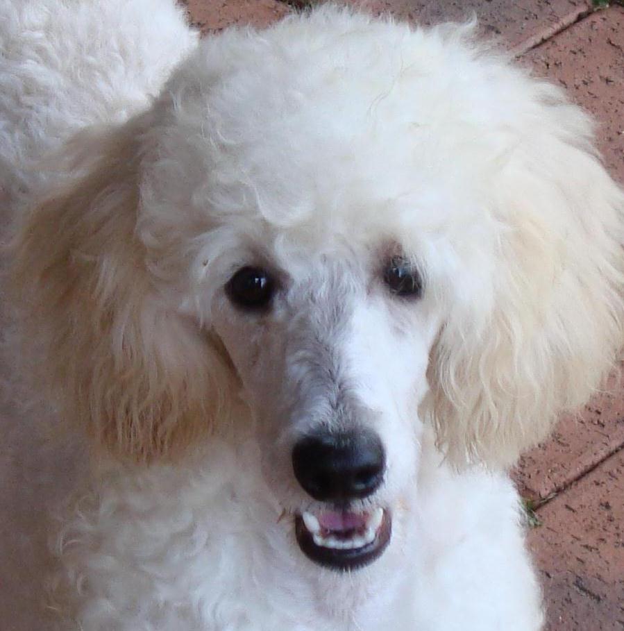 International Working Pet Groomer Scheme Pets Australia